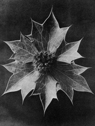 karl-blossfeldt-09