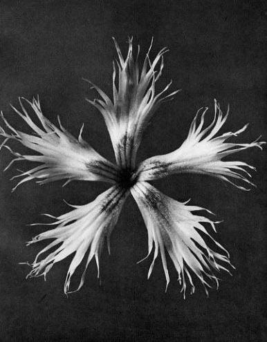 karl-blossfeldt-22