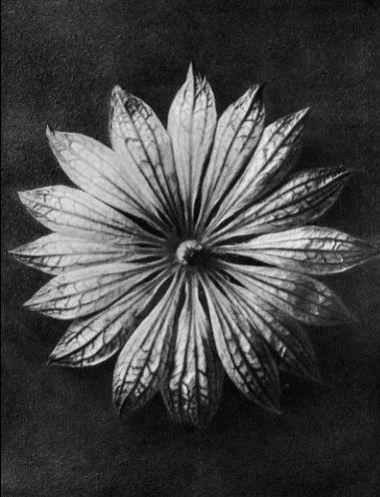 karl-blossfeldt-28
